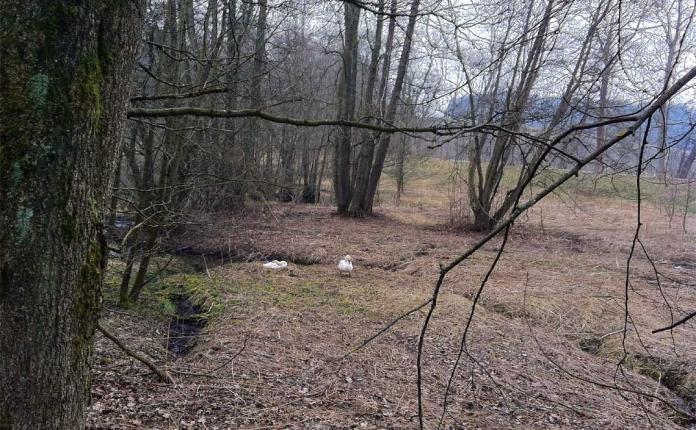 Brütende Schwäne beim Nordic Walking am Pfaffenteich in Hof